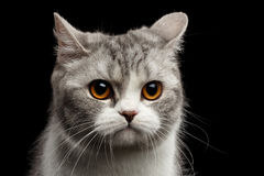 Closeup Gray Scottish Straight Cat Looks Pained  on Black Stock Image