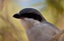 Closeup of gray shrike. Closeup of beautiful young gray shrike looking attentively, Lanius meridionalis Stock Photography