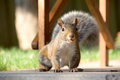 Closeup of gray squirrel with nut. Closeup front-on shot of a gray squirrel with an almond in his mouth Royalty Free Stock Photos
