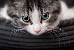 Cute gray striped kitten with blue eyes Royalty Free Stock Photography