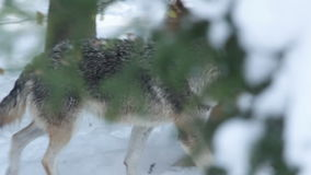 Closeup Gray wolf (Canis lupus) walking in the snowy forest in winter. Royalty Free Stock Photos