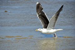 Closeup Great Black-backed Gull in flight Royalty Free Stock Image