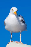 Closeup of Great Black-backed Gull Royalty Free Stock Photography