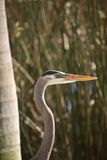 Closeup of Great Blue Heron Royalty Free Stock Photo