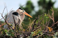 Closeup of a Great Blue Heron Stock Photography