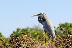 A Closeup of a Great Blue Heron Royalty Free Stock Images