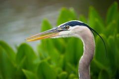 Closeup of Great Blue Heron Stock Photo
