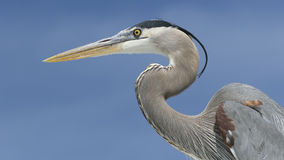 Closeup of a Great Blue Heron Royalty Free Stock Images