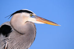 Closeup of a Great Blue Heron Bird Stock Photo