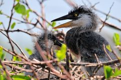 Closeup of great blue heron chicks in nest Royalty Free Stock Photo