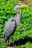 Closeup of Great Blue Heron in a forest Royalty Free Stock Images