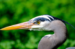 Closeup of Great Blue Heron in a forest Royalty Free Stock Image