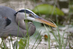Closeup of Great Blue Heron Stalking its Prey. Closeup of Great Blue Heron (Ardea herodias) Stalking its Prey - Everglades National Park, Florida Royalty Free Stock Image
