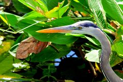 Closeup of great blue heron in water Stock Photography