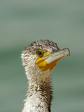Closeup of Great Cormorant Royalty Free Stock Photography