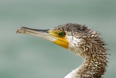 Closeup of Great Cormorant Royalty Free Stock Photo