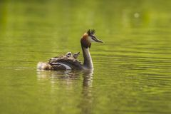 Closeup of a Great crested grebe Podiceps cristatus with chicks on her back. Portrait closeup of a great crested grebe, Podiceps cristatus swimming on the water stock photo