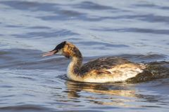 Closeup of a Great crested grebe Podiceps cristatus waterfowl. Portrait closeup of a great crested grebe, Podiceps cristatus swimming on the water surface on a stock photography