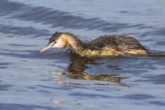 Closeup of a Great crested grebe Podiceps cristatus waterfowl. Portrait closeup of a great crested grebe, Podiceps cristatus swimming on the water surface on a royalty free stock photos