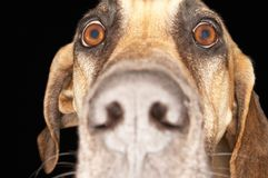 Closeup Of Great Dane Royalty Free Stock Image