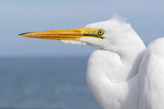 Closeup of Great Egret Stock Photos