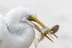 Closeup of Great Egret Catching a Fish - Florida Stock Image