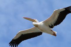 Closeup of great pelican in flight Royalty Free Stock Photography
