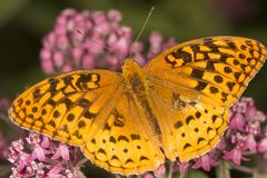 Great spangled fritillary butterfly on milkweed flowers in Verno. Closeup of a great spangled fritillary butterfly, Speyeria cybele, on milkweed flowers at the Stock Photos