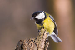 Closeup of great tit on a stub. Great tit (Parus major) perched on dry tree stub in winter forest Royalty Free Stock Images