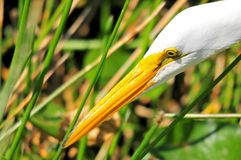 Closeup of a great white egret Stock Photo
