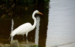 A great white egret in a salt-marsh. stock photo