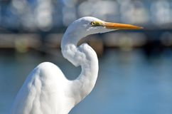 The upper body of a great white egret with a sunlit curvy neck. stock images
