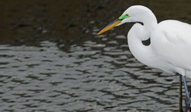 The head of a great white egret hunting in a river during mating season. stock photography