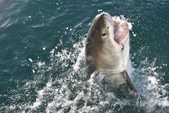 Closeup of a Great White Shark at Cage Diving in Mossel Bay, South Africa. Closeup of a beautiful Great White Shark swimming in the open water at Cage Diving in Royalty Free Stock Images