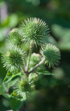 Closeup of Greater Burdock. Detailed view at Arctium lappa of Edible Burdock aginst its blurred natural background Stock Photo