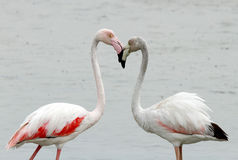 Closeup of Greater Flamingos Stock Photo