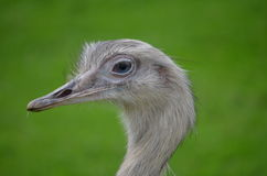 Closeup of The Greater Rhea (Rhea americana) Royalty Free Stock Images