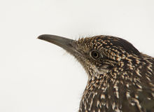 Closeup of a Greater Roadrunner, Geococcyx californianus Stock Photo