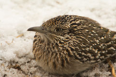 Closeup of a Greater Roadrunner squatting down in snow Stock Photography