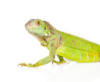 Closeup green agama in profile. isolated on white background Royalty Free Stock Photography