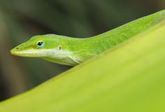 Closeup of a Green Anole Royalty Free Stock Images