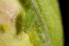 Closeup of a green aphid Royalty Free Stock Image