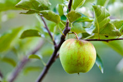 Closeup of a green apple Stock Photo