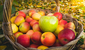 Closeup of green apple lying on red apples in wicker basket Stock Photography