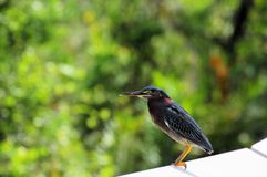 Green-backed heron Royalty Free Stock Photos