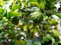 Closeup green bergamot or Kaffir lime on tree. and bergamot tree have a Leaf disease.  royalty free stock photography