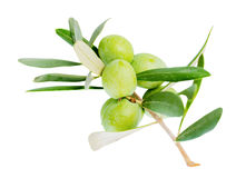 Closeup of green branch olive tree with berries is isolated on w stock images