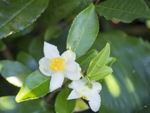 Closeup of green branch of tea tree Camelia Camellia sinensis white and yellow flower blossom, selective focus, its stock image