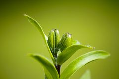 Closeup of a green bud Royalty Free Stock Images
