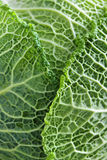 Closeup of green cabbage leaves Royalty Free Stock Image
